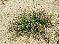 Trifolium arvense (subsp. arvense) sl26.jpg