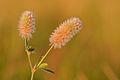 Trifolium arvense - kassiristik Keilas.jpg
