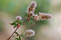 Trifolium arvense var arvense Corse.jpg