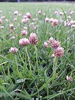 Trifolium fragiferum (subsp. fragiferum) sl8.jpg