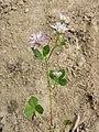 Trifolium suaveolens sl4.jpg