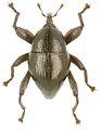 Trigonopterus monticola holotype - ZooKeys-280-001-g051.jpg