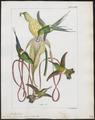 Trochilus conversii - 1820-1860 - Print - Iconographia Zoologica - Special Collections University of Amsterdam - UBA01 IZ19100423.tif