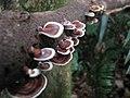 Tropical Wild Mushroom (fungi) (1350282193).jpg