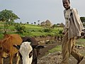 Troupeau ethiopie.JPG