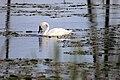 Trumpeter Swan (35999376061).jpg