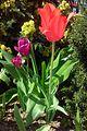 Tulipany(1).jpg