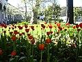 Tulips-Topkapı Palace.jpg