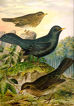 Resultado de imagem para Melros e outras aves na Natureza