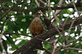 Turdus rufiventris (30659158466).jpg