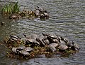 Turtles in Senkeien garden, Yokohama, Japan (2504693526).jpg