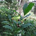 Twinberry Honeysuckle (15198176356).jpg