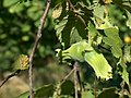 Two nuts unripe - panoramio.jpg