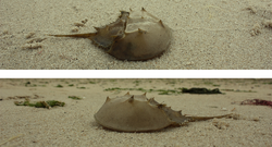 Two shoots of horseshoe crab.png