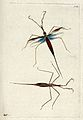 Two slender biting insects (mosquitos). Coloured etching by Wellcome V0020946.jpg