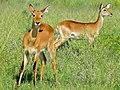 Uganda Kobs (Kobus thomasi) (18230369452).jpg