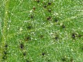 Uncinula tulasnei - powdery mildew - Echter Mehltau 06.jpg