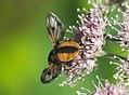 Unidentified Diptera - Galicia - 03.jpg