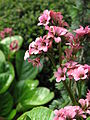 Unidentified pink cluster flowers in garden.jpg