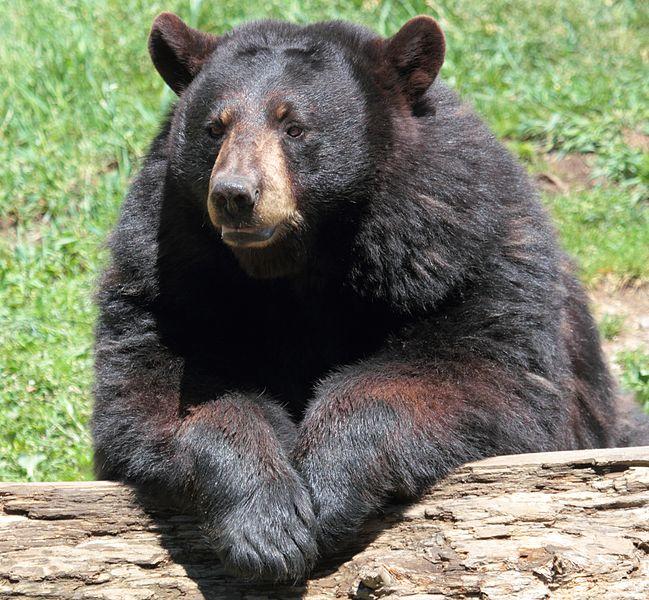 Big Fluffy Bear Looking Dog