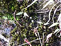 Utricularia striatula-3-upper kothaiyar-tirunelveli-India.jpg