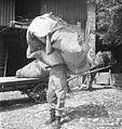 V rjuhi nese travo, Staro selo 1951 (2).jpg