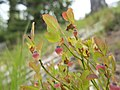 Vaccinium myrtillus near Mission Ridge Chelan County Washington 2.jpg