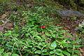 Vaccinium vitis-idaea (8016802697).jpg