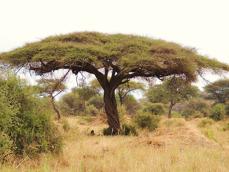 Umbrella Thorn (Acacia tortilis) tree in Tanzania