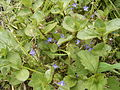 Veronica beccabunga plant3.jpg