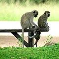 Vervet Monkeys (6623563005).jpg