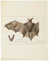 Vespertilio bechsteinii - 1700-1880 - Print - Iconographia Zoologica - Special Collections University of Amsterdam - UBA01 IZ20800193.tif