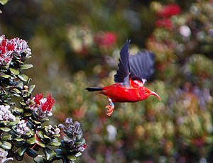 ʻIʻiwi - Image: Vestiaria coccinea flying in Hawaii