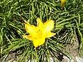 Veszprémvölgy 2016, Sárga virág.jpg