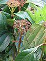 Viburnum cinnamomifolium (8937240504).jpg