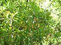 Viburnum odoratissimum var awabuki6.jpg