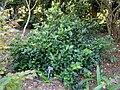 Viburnum suspensum - J. C. Raulston Arboretum - DSC06248.JPG