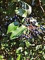 Viburnum tinus - Fruits.jpg