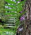 Vicia sepium20090912 337.jpg