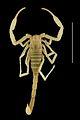 Vietbocap canhi male holotype, dorsal aspect - ZooKeys-071-001-g003-3.jpeg