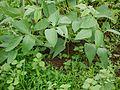 Vigna unguiculata (7543800256).jpg