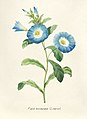 Vintage Flower illustration by Pierre-Joseph Redouté, digitally enhanced by rawpixel 29.jpg