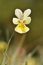 Viola calaminaria 20110425 074642 3445M.JPG