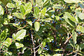 Viorne Tin-Viburnum tinus-Baies-Calvisson-20140721.jpg