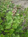 Vitex trifolia subsp. litoralis 8.jpg