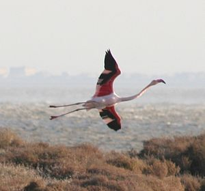 Bages, Aude - A Flamingo at Bages