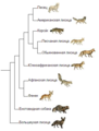 Vulpes phylogeny (rus).png