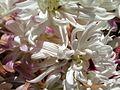 WHITE SENORITA FLOWER.jpg