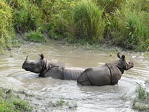 Jaldapara National Park - Image: Wallowing rhinos Jaldapara WLS AJT Johnsinhgh