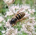 Wasp (Dolichovespula media?), Gibside, Tyne and Wear (9486355889).jpg
